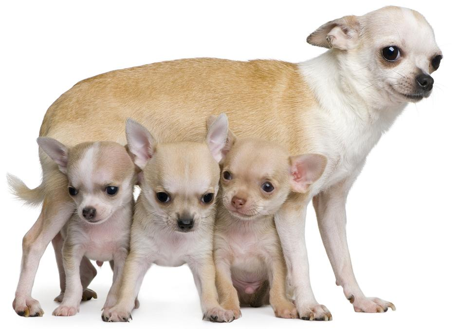 chihua_hua_wi_puppies